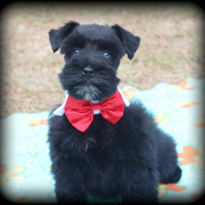 Black Schnauzer in red bow