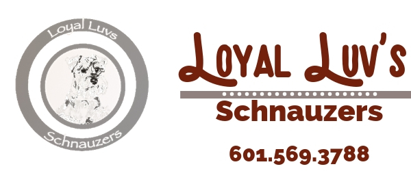 Call or email Loyal Luv's Schnauzer to find your puppy today!